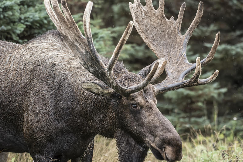 Large Bull Moose. Foraging in the thick brush royalty free stock photography