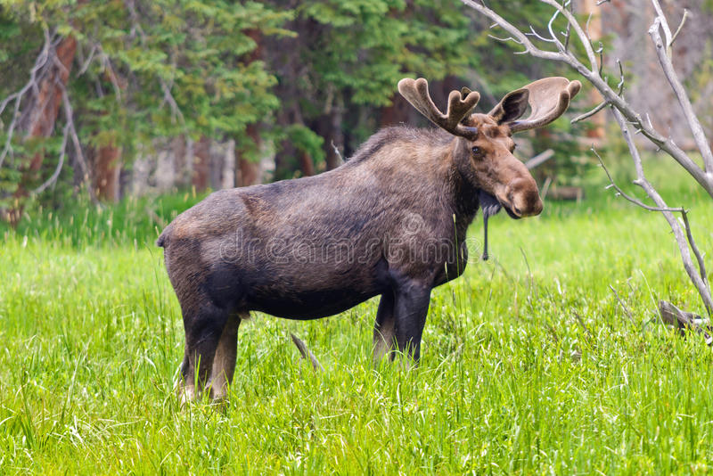 Large Bull Moose. A large bull moose grazes in a marsh in Rocky Mountain National Park in Colorado royalty free stock images