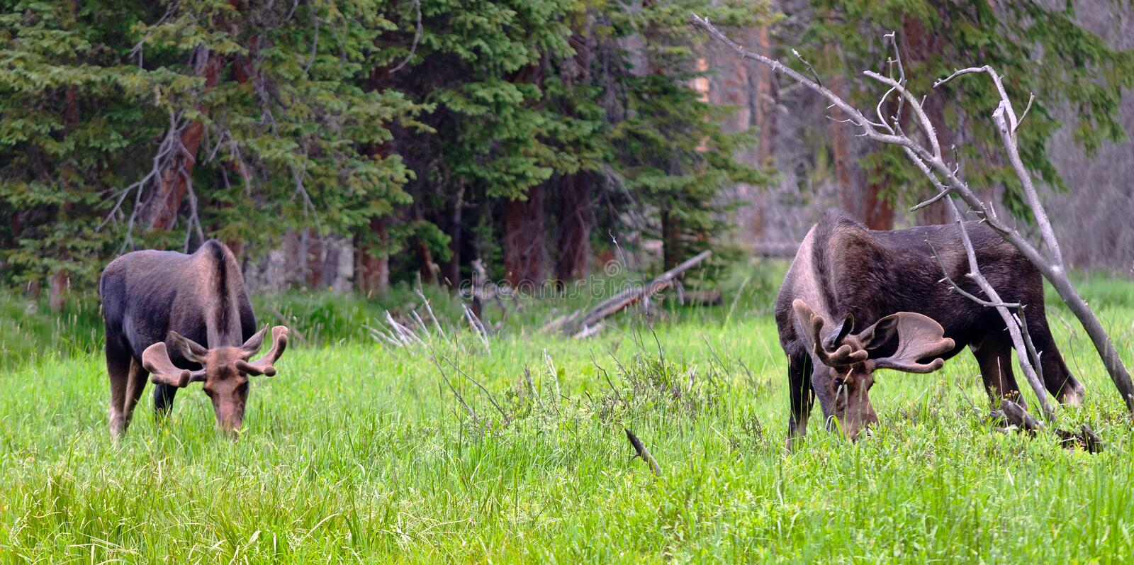 Large Bull Moose. A pair of large bull moose graze in a marsh in Rocky Mountain National Park in Colorado royalty free stock image