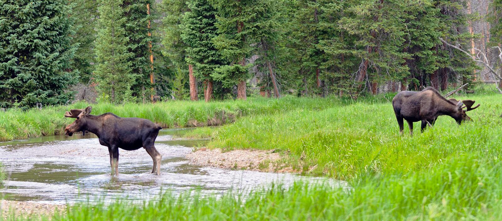 Large Bull Moose. A pair of large bull moose graze beside a stream in Rocky Mountain National Park in Colorado stock photos