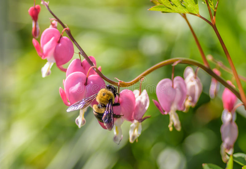 Large bumblebee on pink heart shaped flowers stock image image of download large bumblebee on pink heart shaped flowers stock image image of nature large mightylinksfo