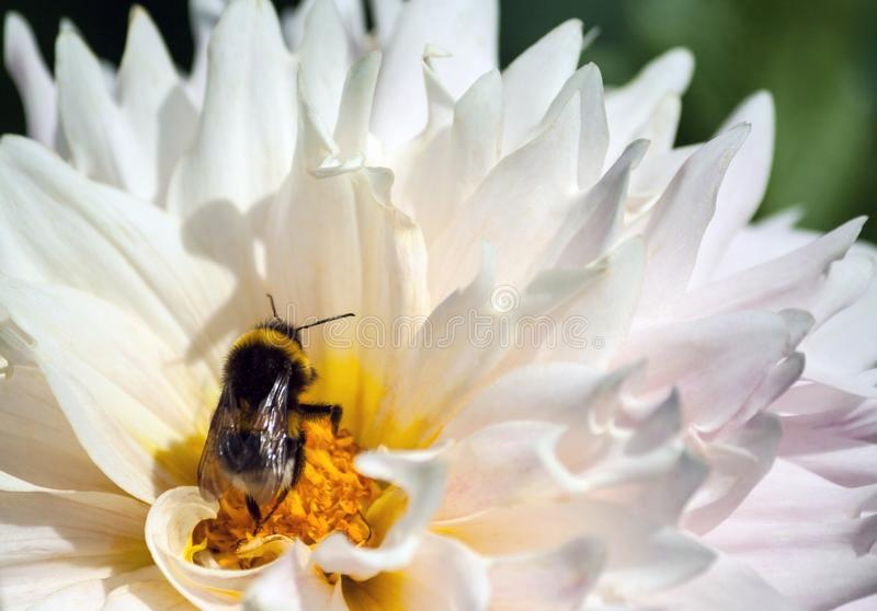 Large bumblebee sits on a chrysanthemum flower with petals and a yellow core. A large bumblebee sits on a chrysanthemum flower with petals and a yellow core, an royalty free stock photos