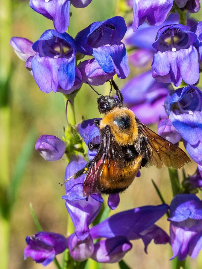 Large Bumblebee. Vertical Composition Of Large Adult Bumblebee Foraging For Nectar Among Purple Dusty Penstemon Flowers, Sandia Crest Mountains, Capulin Springs stock image