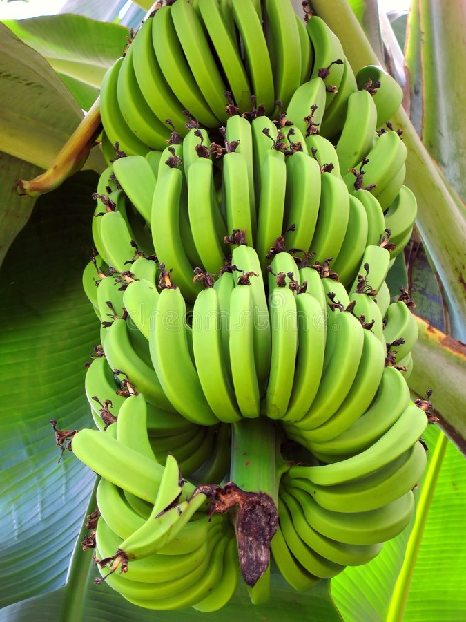 Large Bunch of Bananas stock image