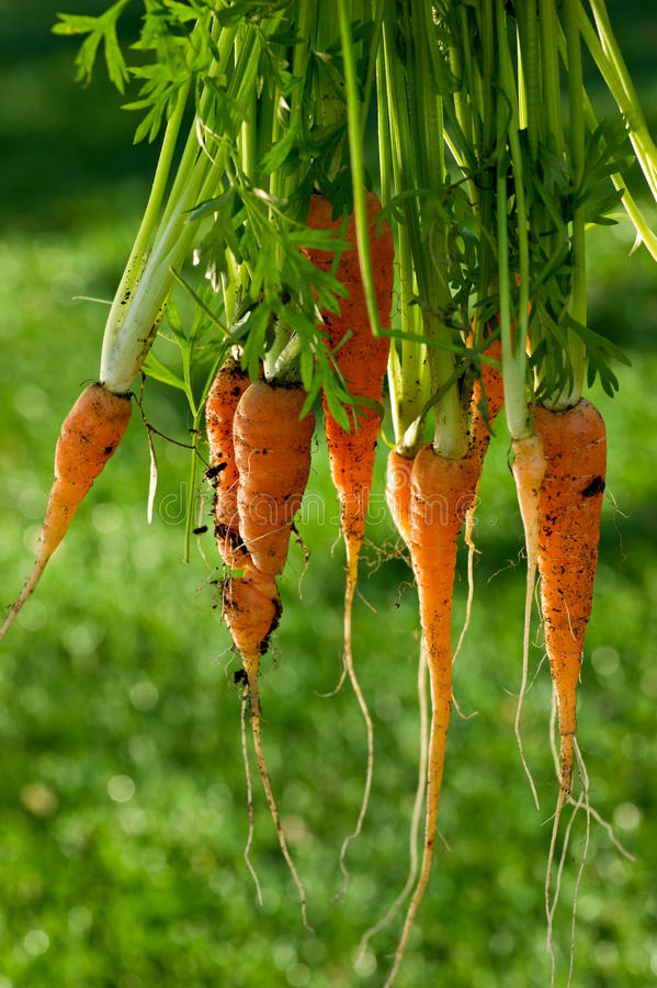 Large Bunch of Fresh Organic Carrots stock photography