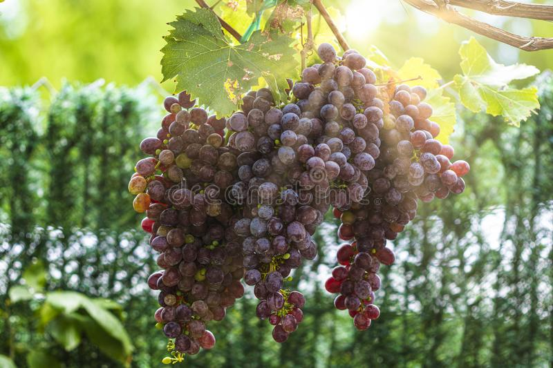 Large bunch of grapes hang from a vine, Close Up of red wine grapes stock images