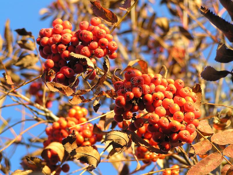 A bunch of red rowan. A large bunch of red rowan on a branch on a Sunny autumn day royalty free stock photo