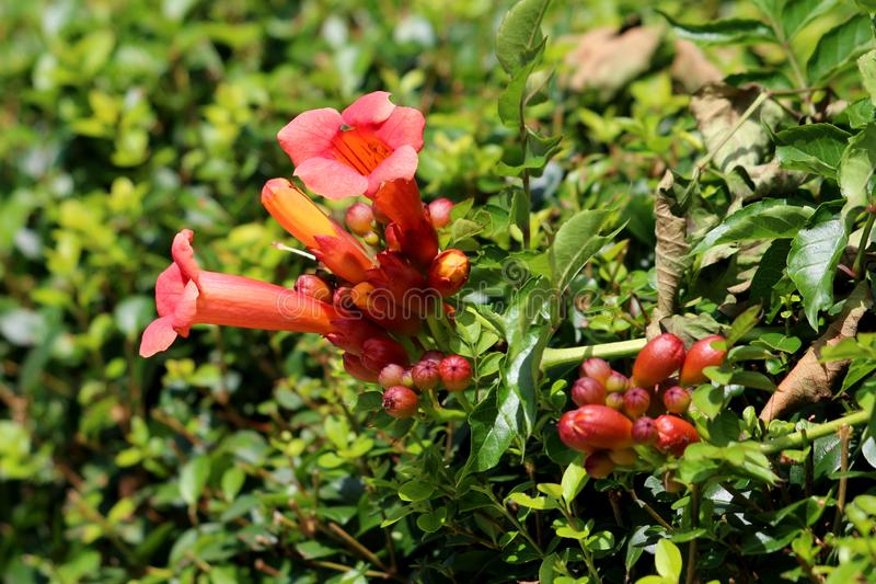 Large bunch of Trumpet vine or Campsis radicans vine plant with partially open orange to red flowers emerging from terminal cymes. Large bunch of Trumpet vine or stock image