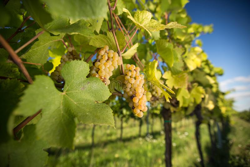 Large bunches of wine grapes hang from an old vine. In warm afternoon light stock photography
