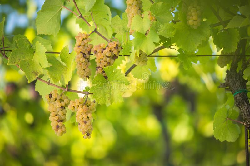Large bunches of wine grapes hang from an old vine. Large bunches of  wine grapes hang from an old vine in warm afternoon light shallow DOF; color toned image stock photography