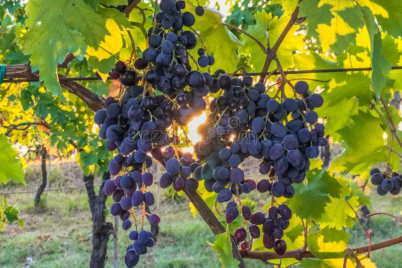 Large bunches of red grapes hanging on the vine in a vineyard in Italy with the sun rising through the leaves in the background royalty free stock photo