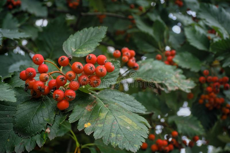 Large bunches of ripe red mountain ash, among green leaves. Large bunches of ripe red mountain ash, among a large number of green leaves. In the background stock image