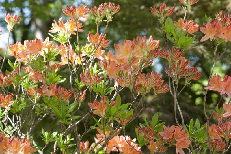 A large bush covered in orange azalea flowers royalty free stock photography