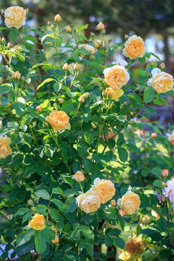 A large bush of English yellow roses, abundant flowering, many flowers and buds. English Shrub Rose GRAHAM THOMAS stock photos