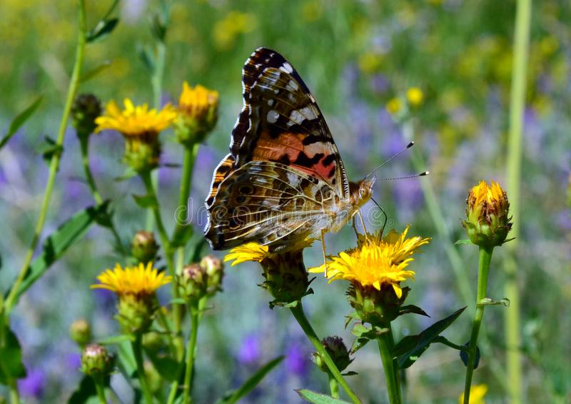 A large butterfly with large orange and black wings sits on a yellow steppe flower stock photography