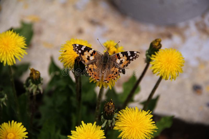 A large butterfly sits on a yellow dandelion flower royalty free stock photography