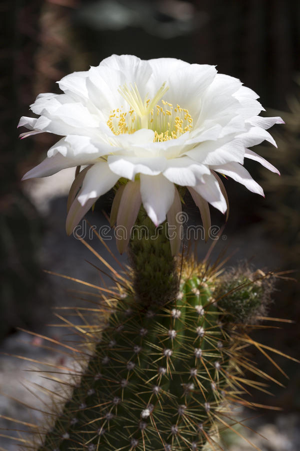 Download Large Cactus flower stock image. Image of portrait, american - 31892991