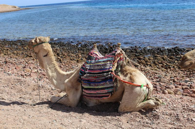 Large camels near the Red Sea. royalty free stock photography