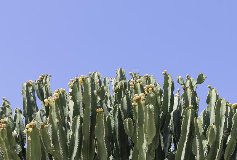 Large candelabra tree Euphorbia candelabrum cactus with yellow flower buds and a blue sky background.  royalty free stock photo