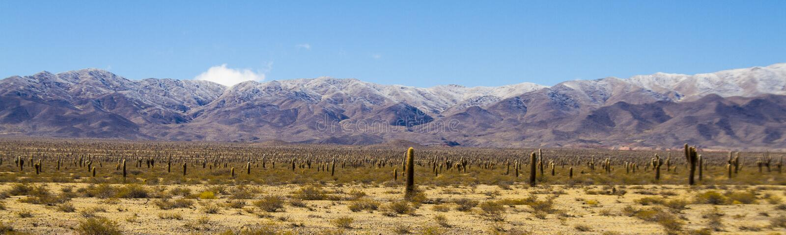 Large cardones in the valley royalty free stock images