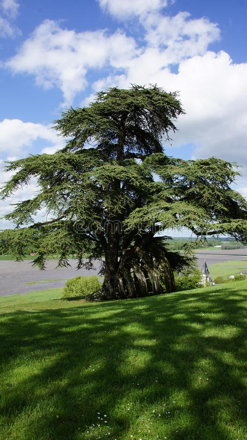 Large cedar tree of Chateau de Chaumont sur Loire. Large cedar tree at Castle of Chaumont on the river Loire in France royalty free stock photo