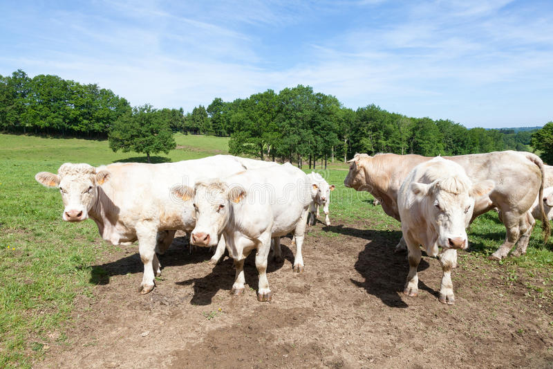 Large Charolais beef bull with cows and a calf in a lush spring p. Asture standing facing the camera in sunshine royalty free stock photography