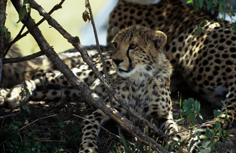Large cheetah cub royalty free stock images