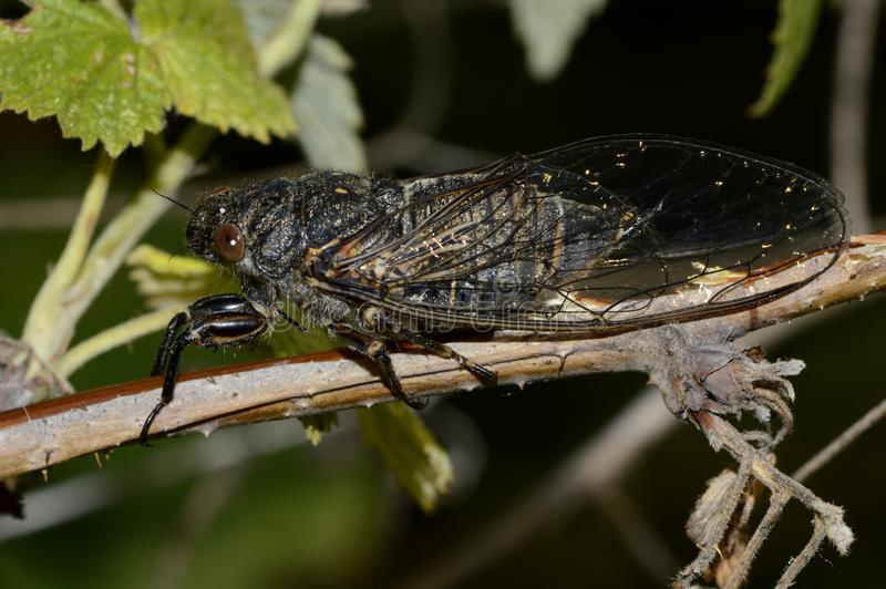 Large cicada on a branch of a bush royalty free stock images