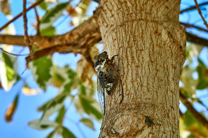 Large cicadas on the tree stock images
