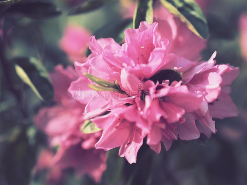 Large, close up of a group of bright pink flowers. Large, close up of groups of bright pink flowers blooming stock photos
