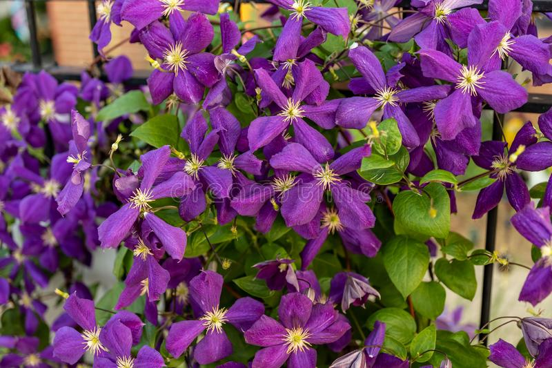 Large cluster of medium sized puple flowers. A large cluster of medium sized puple flowers royalty free stock photography
