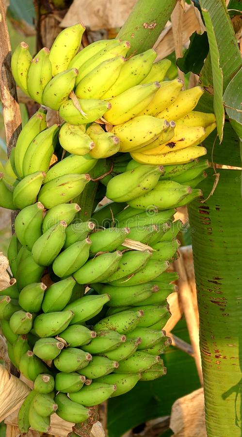 Large Cluster of Natural Bananas stock image