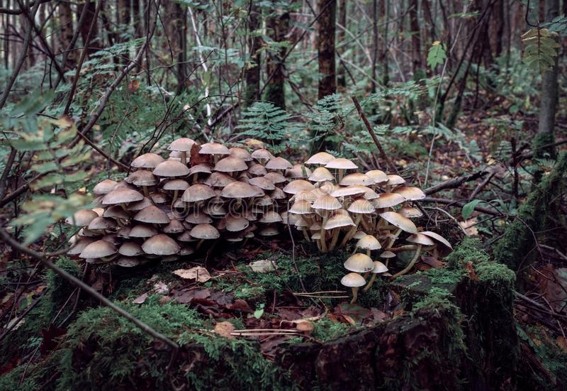 A large cluster of wild mushroom, toadstools. stock photo