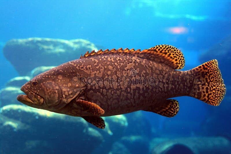 Large cod stock image