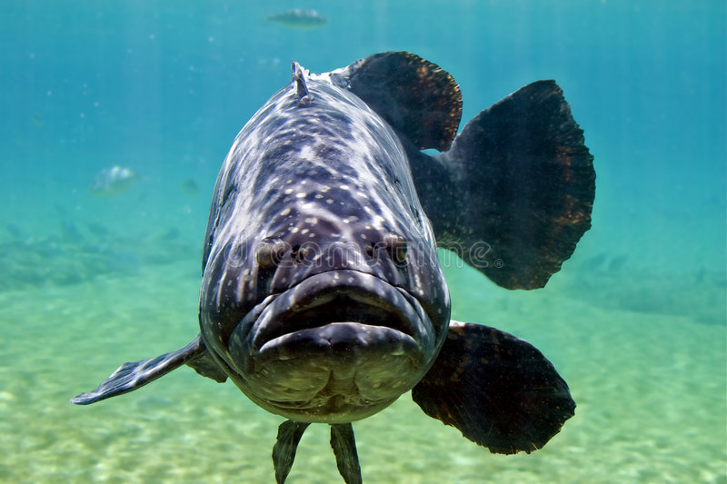 Large Cod royalty free stock photography