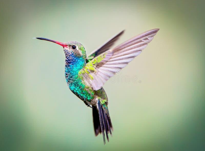 Large colibri affiché (mâle) photo libre de droits