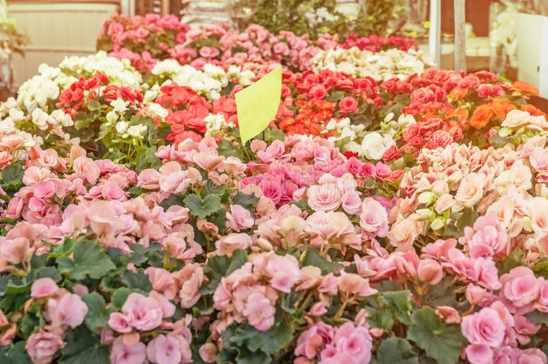 Large colorful begonias outside in the shop in the sale for the gift against sunlight. The farmer`s market. The horizontal frame stock photos