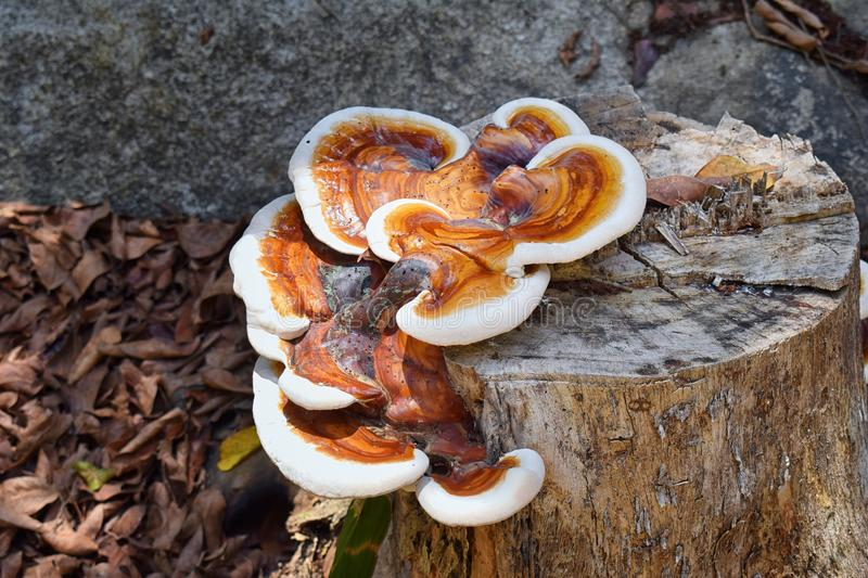 Large colorful Fungus growing on Stump decaying in El Eden, Puerto Vallarta Jungle pathway in Macro, detailed view in Mexico. stock photos