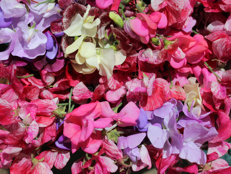 Large colorful selection of sweet pea flowers stock photos
