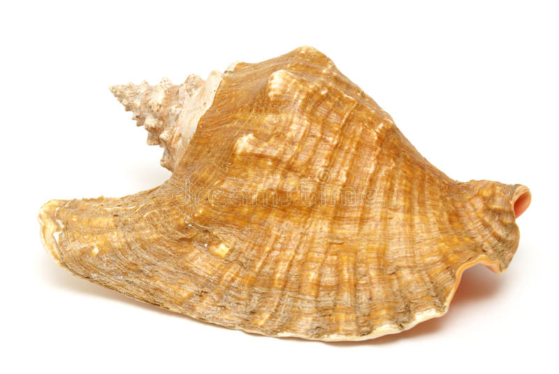 Large Conch Shell Royalty Free Stock Photography