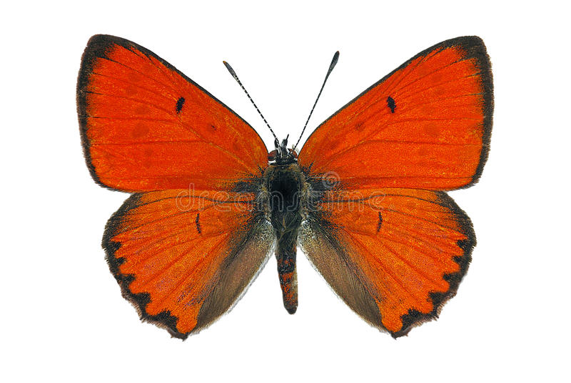 Large Copper (Lycaena dispar) royalty free stock image