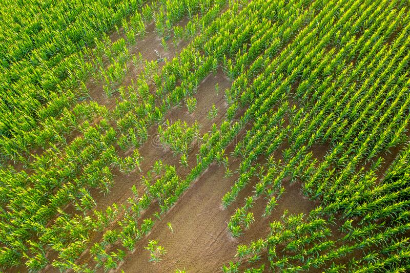 Large corn field from above royalty free stock photos