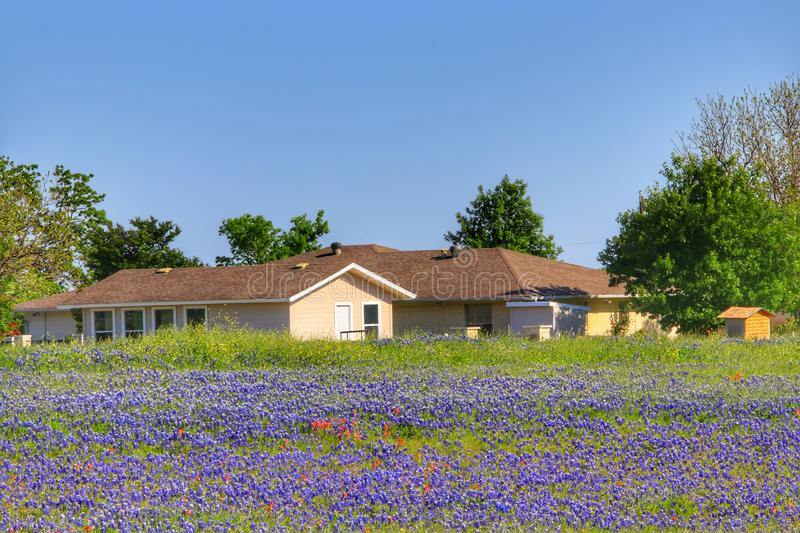 Texas Bluebonnet flower. Large country house with Texas Bluebonnet flowers during spring royalty free stock image