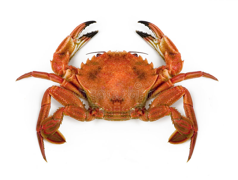 Large crab. An closeup view of a large crab, isolated on white background