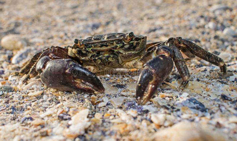 A large crab came out of the sea, at the shore, on the sand. Close up photography stock image