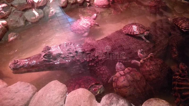 Large crocodile surrounded by turtles. stock image