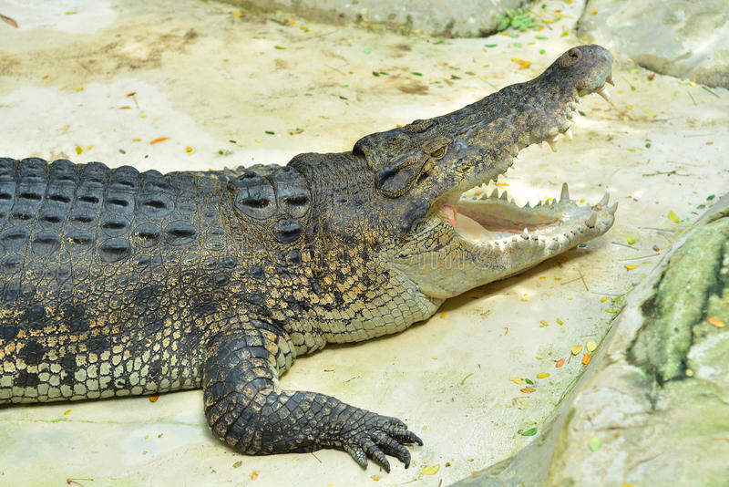Download Large crocodile. stock photo. Image of flesh, mouth, animals - 45420906