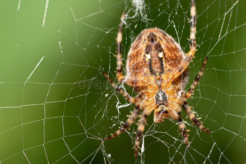 Large cross spider sits in her spider`s web and lurks for prey royalty free stock image
