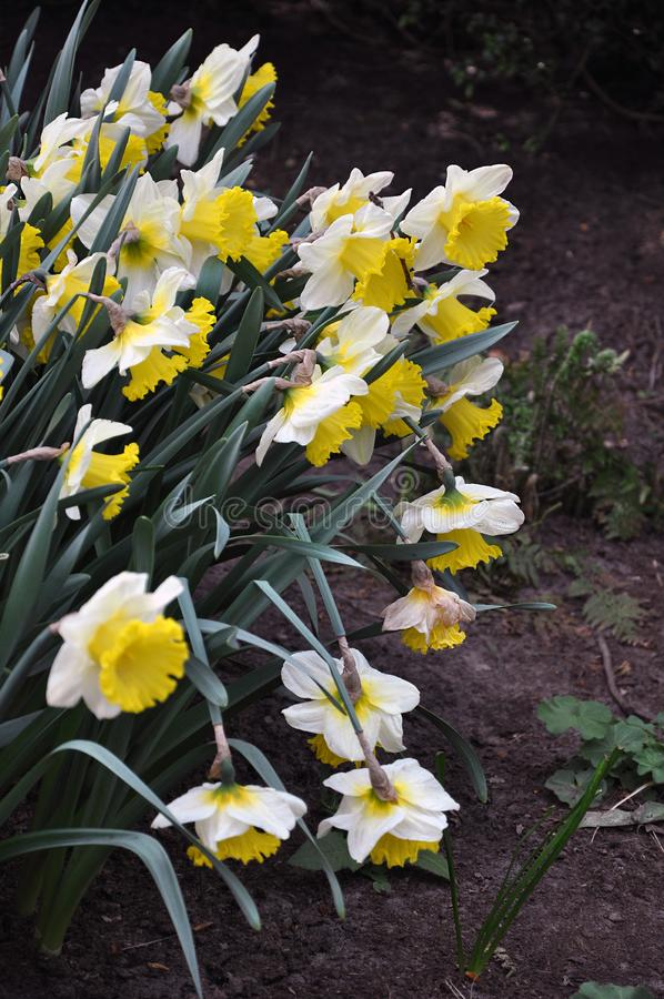 Large-cupped daffodil in the flower-bed. A group of narcissus large-cupped daffodil blooming in the garden in Spring, selective focus stock photos