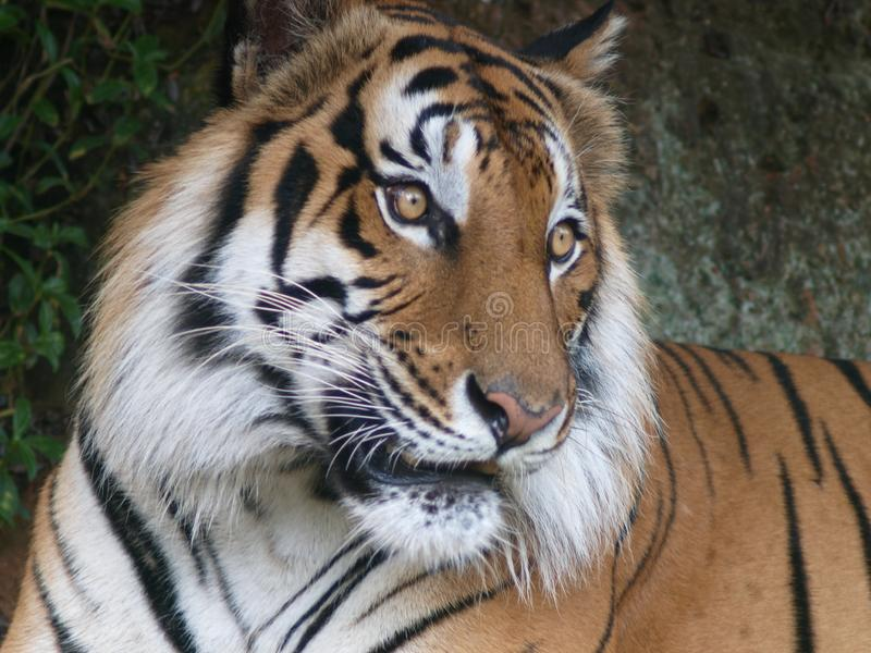 Large cute indian or asian black yellow stripes tiger portraits. Face crop closeup of a large cute indian or asian black yellow stripes tiger portraits stock image